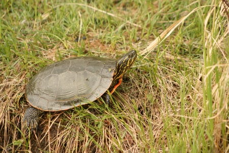 lake winnipeg: A Western Painted Turtle sunning itself on a grassy bank in spring in Winnipeg, Manitoba, Canada Stock Photo