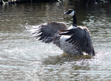 lake winnipeg: An adult Canada Goose splashing in the water of a lake in spring in Winnipeg, Manitoba, Canada