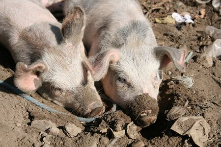 wallowing: A pair of pigs wallowing in a pit of mud at the outdoor live animal market in Otavalo, Ecuador