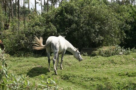 An adult white horse grazing in a farmers field in Cotacachi, Ecuador
