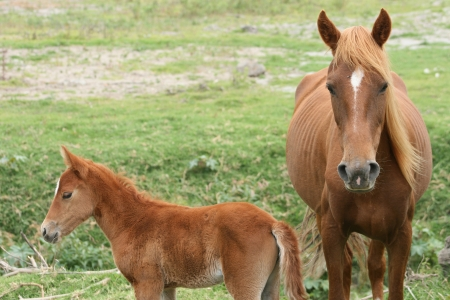 recently: A mare and a recently born colt standing in a farmers meadow in Cotacachi, Ecuador