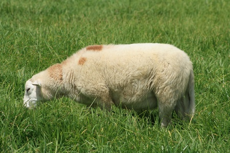 An adult white sheep grazing in a farmers pasture in Cotacachi, Ecuador photo