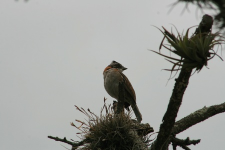 rufous: A Rufous Collared Sparrow perched on the top of a tree in Cotacachi, Ecuador