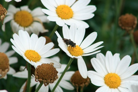 A fly pollinating a daisy in a garden in Cotacachi, Ecuador