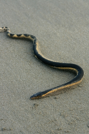 sea snake: A venomous sea snake on the beach on the Pacific Ocean in Tonsupa, Ecuador
