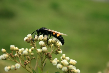 A large black bee with yellow stripes pollinating a small flower on a bush in Cotacachi, Ecuador Фото со стока