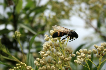 A large black bee with yellow stripes pollinating a small white flower on a bush in Cotacachi, Ecuador Фото со стока