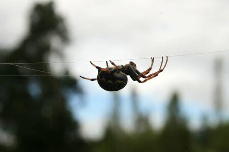 An Orb Weaver Spider suspended on a strand of web in Cotacachi, Ecuador Banco de Imagens