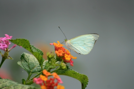 A Cabbage butterfly pollinating a flower on a plant in Cotacachi, Ecuador