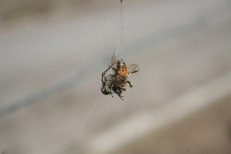 orb weaver: An Orb Weaver Spider wrapping its prey with a silk web in Cotacachi, Ecuador Stock Photo