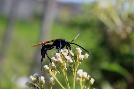 A Tarantula Hawk Spider Wasp pollinating a small white flower on a bush in Cotacachi, Ecuador Фото со стока