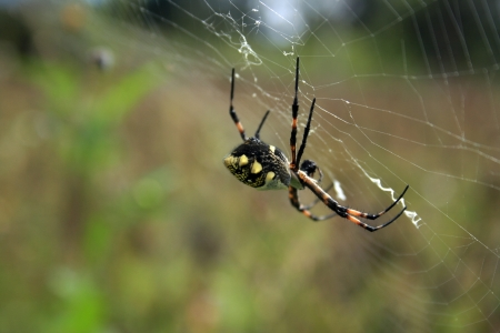 orb weaver: An Orb Weaver Spider on its web in a field in Cotacachi, Ecuador