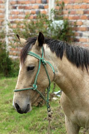 light brown horse: A light brown Horse in a farmers pasture in Cotacachi, Ecuador