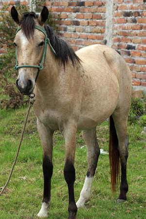 light brown horse: A light brown Horse standing in a farmers pasture in Cotacachi, Ecuador Stock Photo