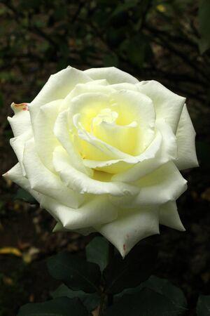 rose bush: A white rose blooming on a  rose bush in a flower garden in Cotacachi, Ecuador
