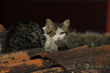 tejas: Un gato marrón y blanco en un techo cubierto con tejas de terracota en Cotacachi, Ecuador Foto de archivo