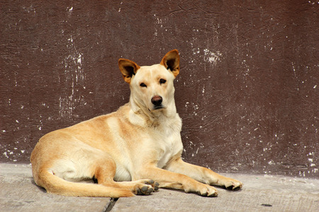 man's best friend: A brown dog lying next to a building in Cotacachi Ecuadore Stock Photo