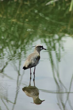 lapwing: A Southern Lapwing standing in the shallow water of a lake in Ibarra Ecuador