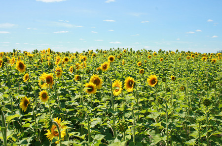 A field of sunflowers on a farm in Altona  Manitoba Canada