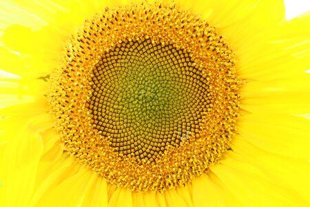 A sunflower in a field on a farm in Altona  Manitoba Canada