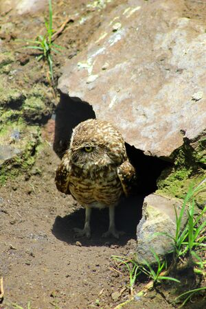 burrowing: A Burrowing Owl next to a rock at an outdoor bird sanctuary near Otavalo Ecuador