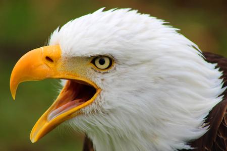 An American Bald Eagle at an outdoor bird sanctuary near Otavalo Ecuador
