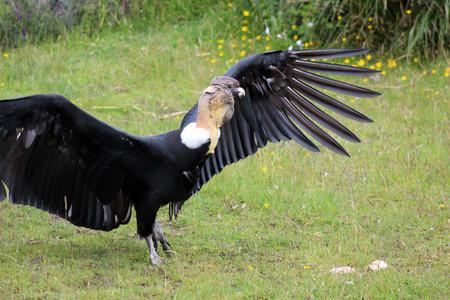 bird sanctuary: An Andean Condor spreading its wings at an outdoor bird sanctuary near Otavalo Ecuador