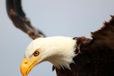 An American Bald Eagle spreading its wings at an outdoor bird sanctuary near Otavalo Ecuador Фото со стока