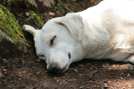 mans best friend: A white dog lying on a road in Mindo Ecuador Stock Photo