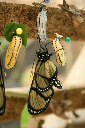 butterfly garden: A butterfly emerging from a cocoon at a butterfly garden in Mindo Ecuador