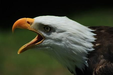 An American Bald Eagle at an outdoor bird sanctuary near Otavalo, Ecuador
