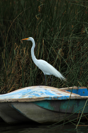 A Great White Heron on the bow of a skiff in the reeds of a marsh in a lake in Ibarra Ecuador Фото со стока