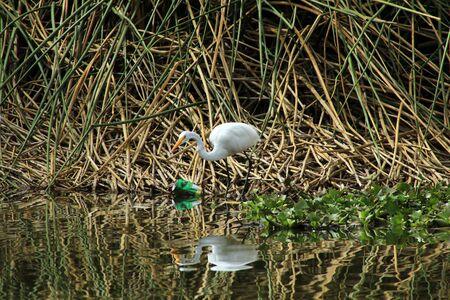 shorebird: A Great White Heron in the reeds of a marsh in a lake in Ibarra Ecuador