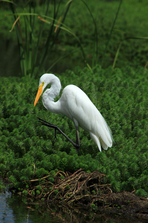 A Great White Heron in the reeds of a marsh in a lake in Ibarra Ecuador