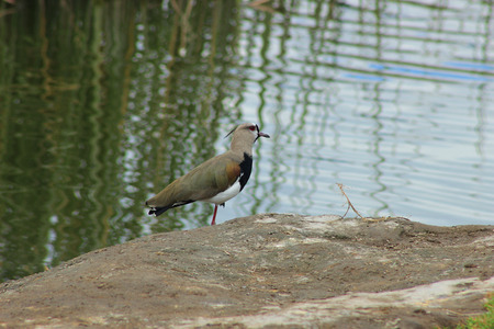 lapwing: A Southern Lapwing on the shore of a marsh in a lake in Ibarra Ecuador