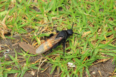 A large striped bee on grass in a field in Cotacachi Ecuador