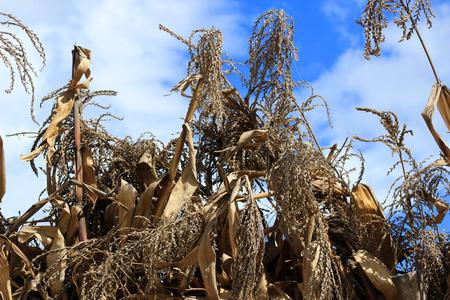Corn stalks drying on a farm in Cotacachi Ecuador