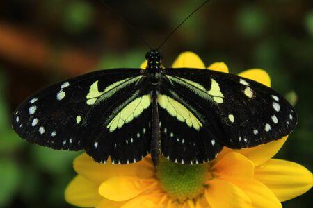 butterfly in the garden: A butterfly on a flower in a butterfly garden in Mindo, Ecuador