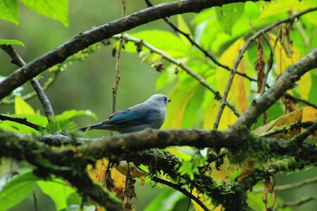 A Blue Gray Tanager on the branch of a tree in the cloud forest in Mindo, Ecuador Фото со стока