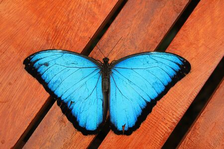 A Blue Morpho butterfly on wood in Mindo, Ecuador