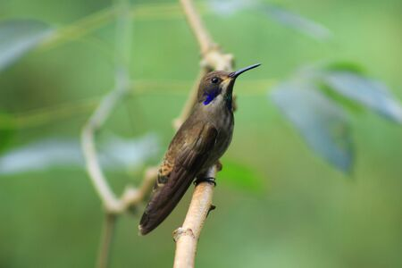 A brown Hummingbird perched on the branch of a tree in Mindo, Ecuador