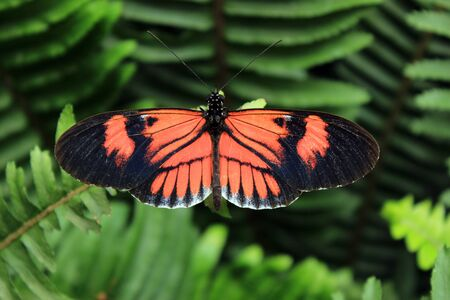 An orange and black butterfly on the leaf of a plant in Mindo, Ecuador