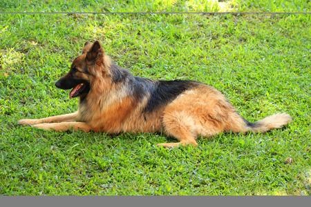 german shepherd on the grass: A German Shepherd dog lying in a field of grass in Mindo, Ecuador