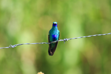 A Sparkling Violetear Hummingbird on a strand of barbed wire in Cotacachi, Ecuador