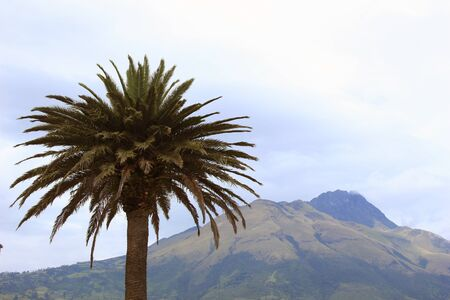A palm tree in a park with the volcano, Mount Imbabura in the Northern Andes near Ibarra, Ecuador Фото со стока