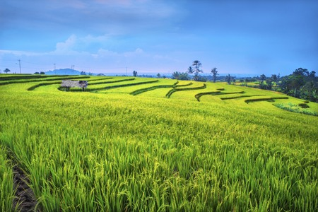 beauty paddy fields in the morning