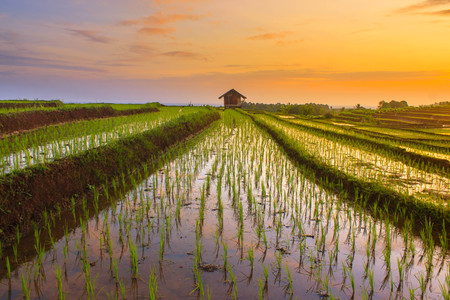 beauty moment at paddy fields with sunset Stock Photo