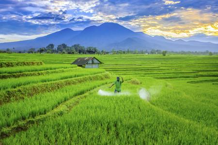 farmer with paddy fields
