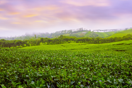 amazing color with tea fields