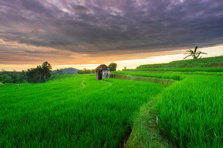 the beauty of the morning in the rice fields and the blue mountains in Indonesia which is very good in summer in asia